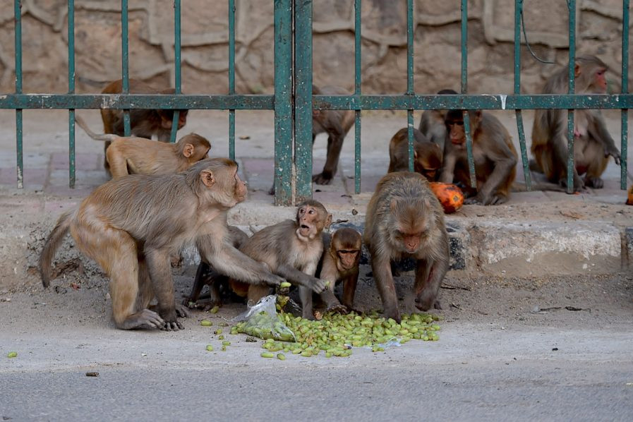 Monkeys Escape With COVID-19 Samples